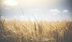 agriculture, wheat field, wheat
